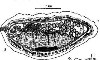 Biamniculus muravijova - тетработріати і мезоцестоідати