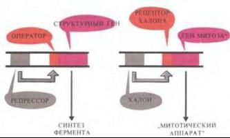 Халонен як репрессори - рак: експерименти і гіпотези