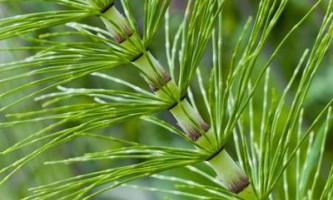 Хвощ польовий: корисні властивості та протипоказання до застосування цієї рослини