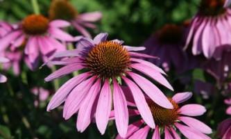 Ехінацея: лікувальні властивості і протипоказання до використання цього дивного рослини
