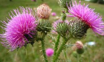 Які трави корисні для очищення печінки?