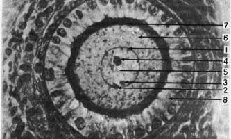 Клітка - основи гістології