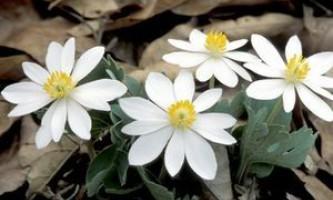 Перстач біла: корисні властивості та протипоказання до застосування даної рослини
