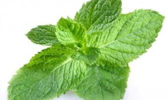 М`ята перцева: лікувальні властивості чудодійного рослини