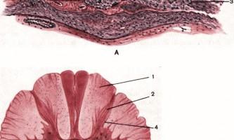 Нервова система, органи чуття - основи гістології