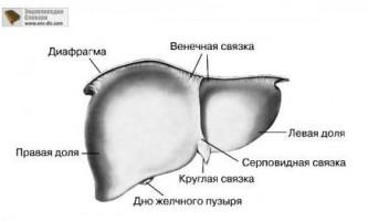 Основна функція печінки і підшлункової залози в організмі людини, її роль