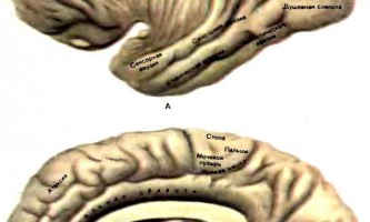 Основні центри кори великих півкуль - дитяча неврологія
