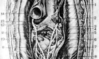 Ставлення серця до оточуючих його органам - клінічна анатомія серця