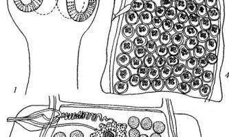 Raillietina cacatuinae - давенеати - raillietina