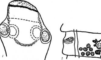 Raillietina nripendra - давенеати - raillietina