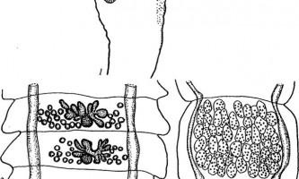 Raillietina pseudocyrtus і psittacea - давенеати - raillietina