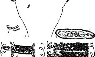 Raillietina steinhardtii - давенеати - raillietina
