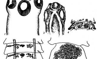 Raillietina tetragonoides - давенеати - raillietina