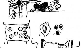 Raillietina trapezoides - давенеати - raillietina