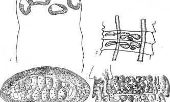 Raillietina undulata - давенеати - raillietina