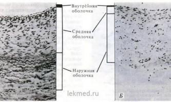 Артерії і артеріоли - системи організму (гістологія)
