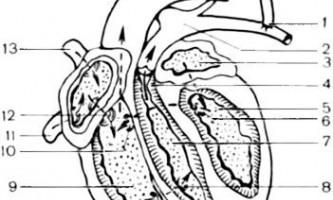 Серце з трьома желудочками, двокамерну серце - клінічна анатомія серця