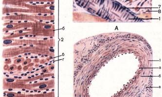 Серцево-судинна система - основи гістології