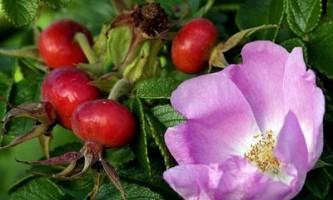 Шипшина - природне таблетка для лікування печінки