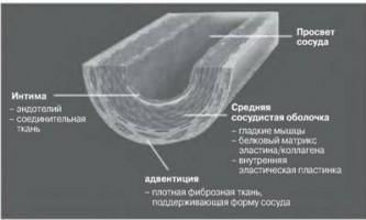 Структура кровоносної судини - судинна біологія в клінічній практиці