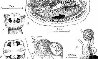 Tetrabothrius arsenyevi delamure - тетработріати і мезоцестоідати