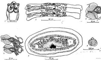 Tetrabothrius erostris loennberg - тетработріати і мезоцестоідати