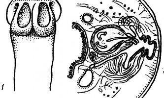 Tetrabothrius hoyeri szpotanska і innominatus baer - тетработріати і мезоцестоідати