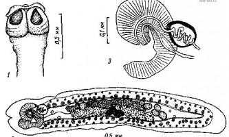 Tetrabothrius laccocephalus spatlich - тетработріати і мезоцестоідати
