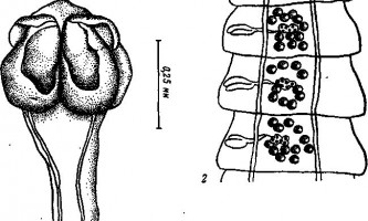 Tetrabothrius minor loennberg - тетработріати і мезоцестоідати