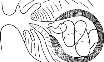 Tetrabothrius pauliani joyeux et baer і wrighti leiper et atkinson - тетработріати і мезоцестоідати