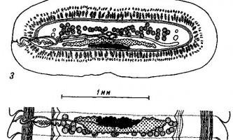 Tetrabothrius ruudi nybelin - тетработріати і мезоцестоідати