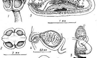 Tetrabothrius schaeferi markowski - тетработріати і мезоцестоідати
