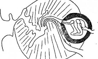 Tetrabothrius skoogi nybelin і sulae - тетработріати і мезоцестоідати