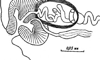 Tetrabothrius torulosus linstow - тетработріати і мезоцестоідати