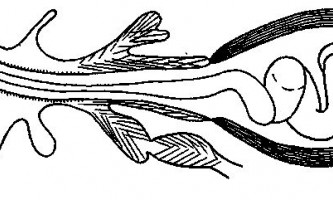 Tetrabothrius umbrella fuhrmann - тетработріати і мезоцестоідати