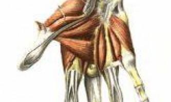 Тильні міжкісткові м`язи