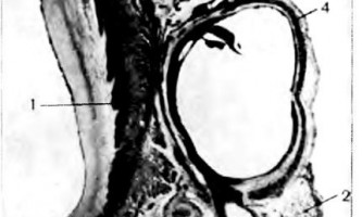 Вінець синус серця - клінічна анатомія серця