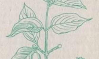 Вишня повстяна, жимолость, ірга колосиста - дикорослі корисні рослини